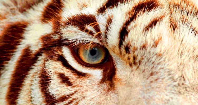 Tiger-Wut-anankkml-fotolia