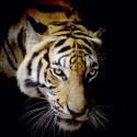 Tiger-Wut-art9858-fotolia