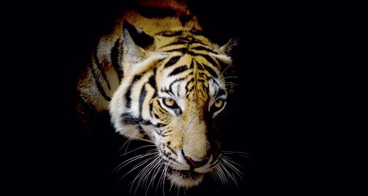 Tiger-Wut-art9858-fotolia