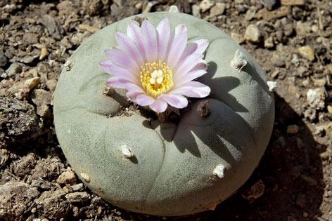 Kaktus-HaramisKalfar-Fotoli