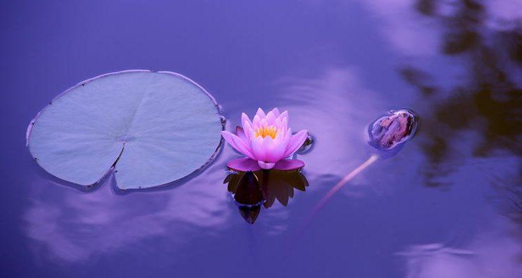 StefanieKusan-pixabay-Lotus