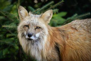 Fuchs, Glück, Wunder der Natur