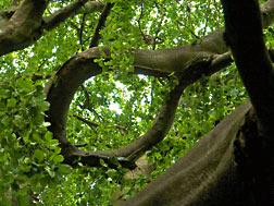 Baum Elfenauge