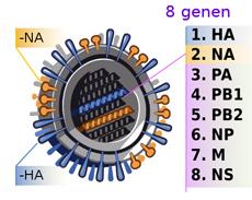 h1n1-virus