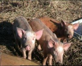 Hof_Schweine.jpg