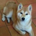 koubenec-hund