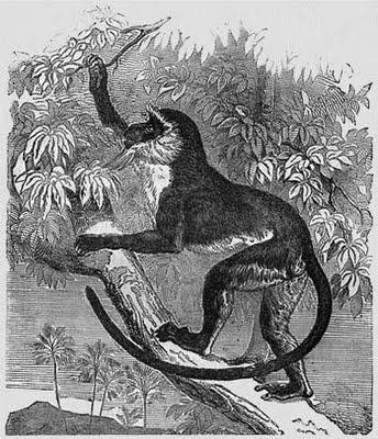 meerkatze