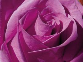 Rosing_Rose.jpg