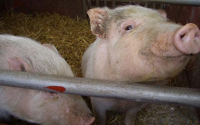 pigs von titanium22 Lizenz: cc-by-sa
