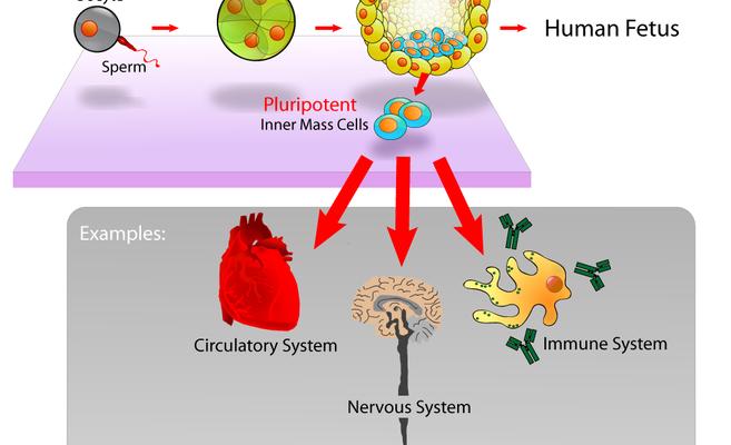 stammzellen-therapie