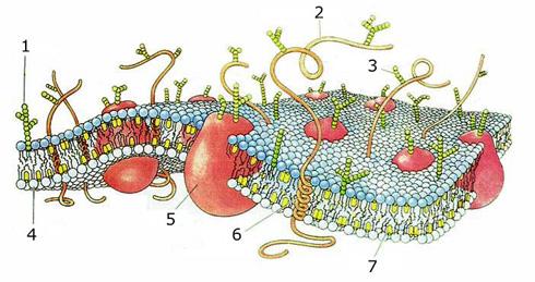 Zellmembran Bruce Lipton